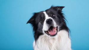 A cute, happy, and friendly dog tilting its head | Feature | Methylation Studies in Dogs Show Epigenetic Aging Similarities Between Canines and Humans